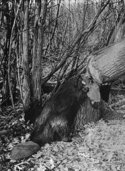 Beaver felling tree Photo Credit: Canadian National Railways, Library and Archives Canada, R231-1423-0-E